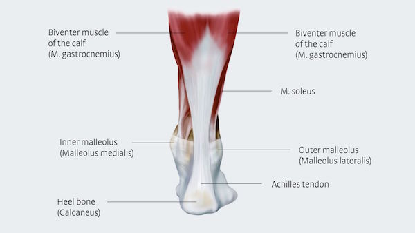 Graphic showing archilles tendon