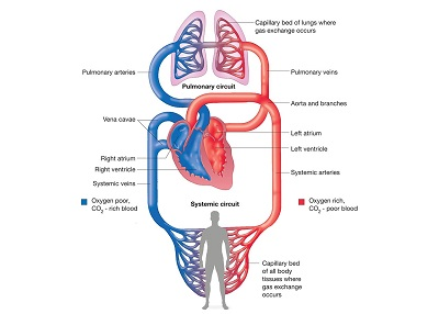 An image of blood circulation to better understand anti-embolism