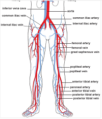 an illustration of normal blood circulation in relation to pregnancy