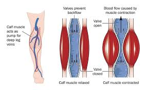 An image showing how the contraction and relaxation of muscles help in blood circulation