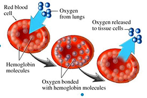 Oxygenation of Red Blood Cells During Running