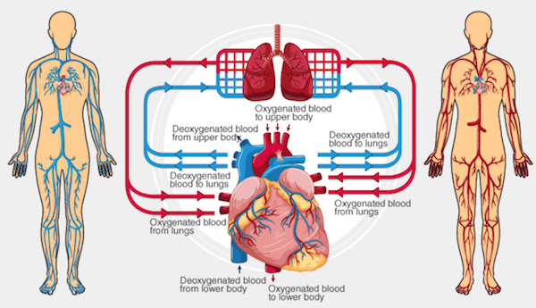 Circulatory system diagram highlighting the various pathways of blood