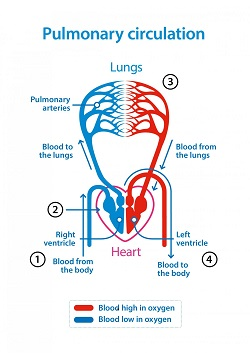 an illustration of pulmonary circulation